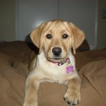 Abby the Labby and Her Training